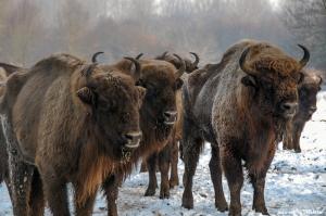 ჩრდილოეთ კავკასიაში დომბების გამრავლებას აპირებენ