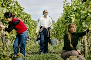 მევენახეების შემოსავლებმა 60 მილიონ ლარს მიაღწია– ღვინის ეროვნული სააგენტო