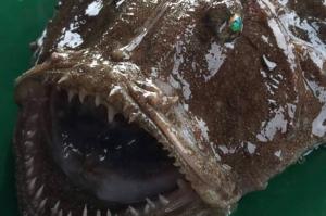 მეთევზეებმა ჩაქვის აკვატორიაში ზღვის ეშმაკი იპოვეს