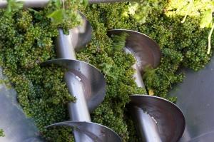 6 სექტემბრის მონაცემებით, კახეთში 6.6 ათასი ტონა ყურძენია გადამუშავებული