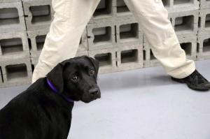 CIA-ს საწვრთნელი პროგრამიდან ძაღლი გულგრილობის გამო გაათავისუფლეს