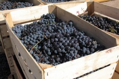 2019 წელს საქართველომ უცხო ქვეყნებიდან 3.5 მლნ დოლარის ყურძენი იყიდა