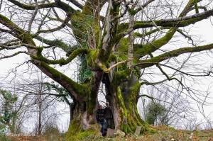 გიგანტური ცაცხვის ხე, რომელიც სენაკში დგას