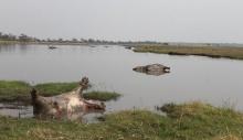 ციმბირის წყლულს ნამიბიაში 100-ზე მეტი ბეჰემოთი ემსხვერპლა