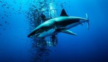 კოსტა რიკაში ზვიგენმა ამერიკელი ტურისტი იმსხვერპლა